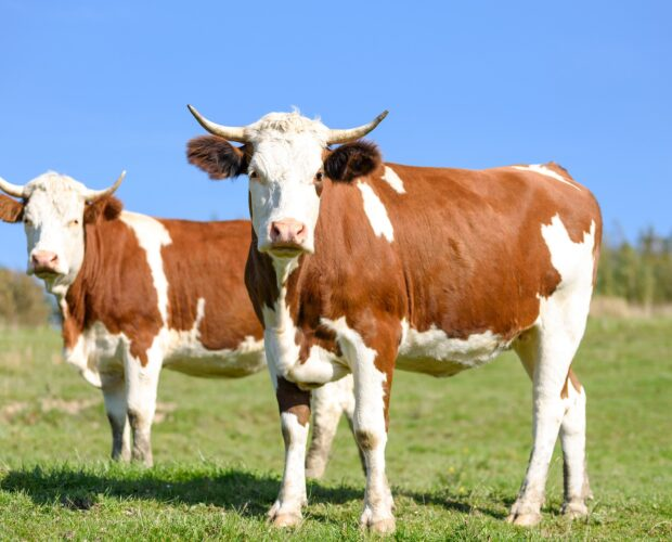 Vad är en helig ko?